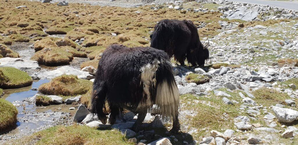 ladakhi yak